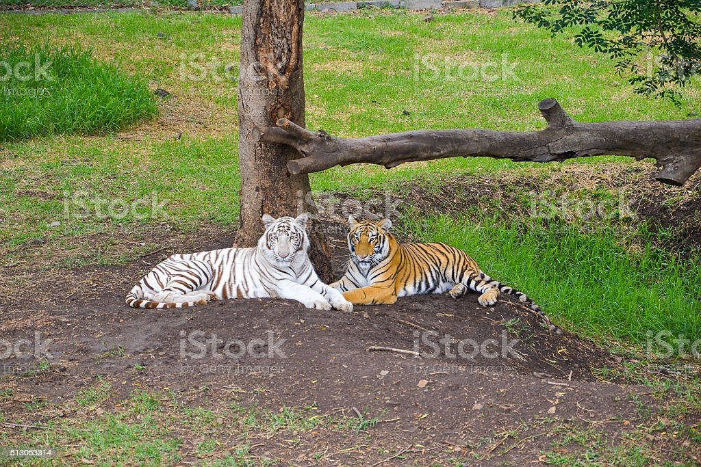 White and yellow tiger stock photo