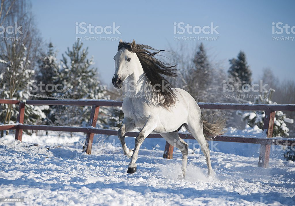 White andalusian horse in paddock stock photo