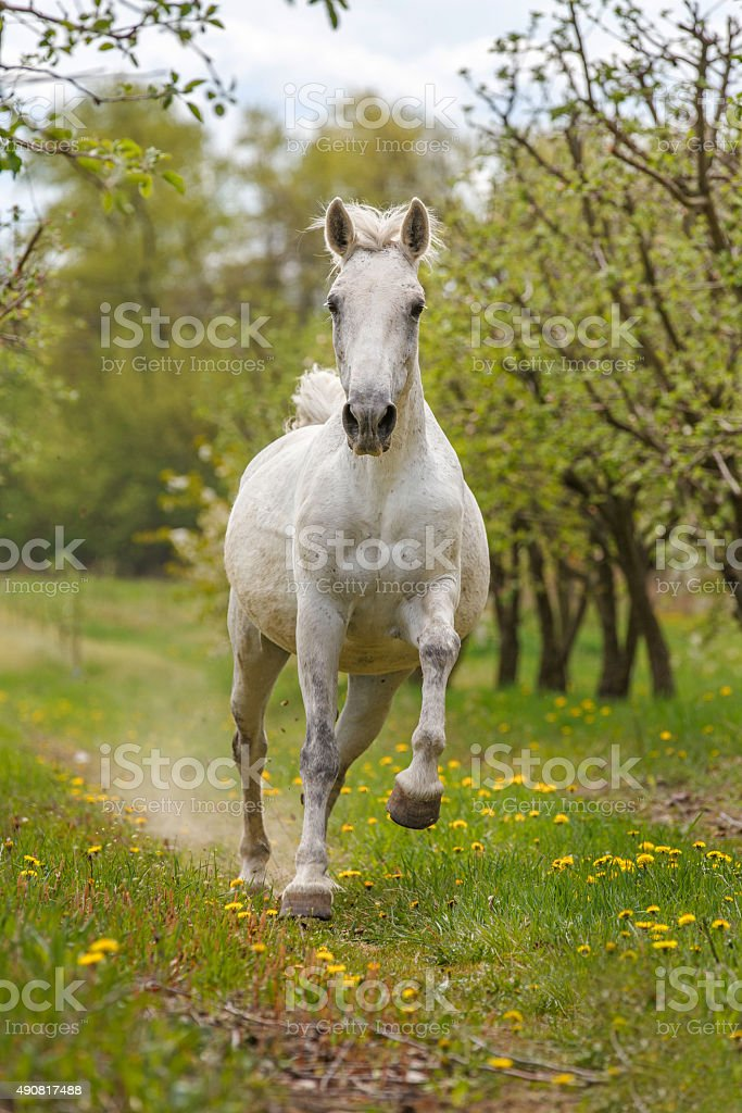 White Andalusian horse runs gallop in summer time stock photo