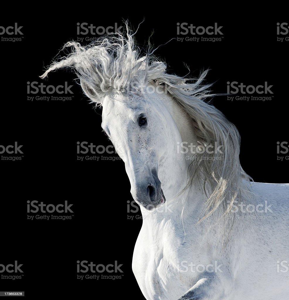 White andalusian stallion stock photo