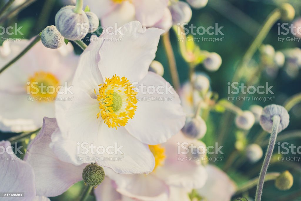 white anemone flower in meadow - vintage look stock photo