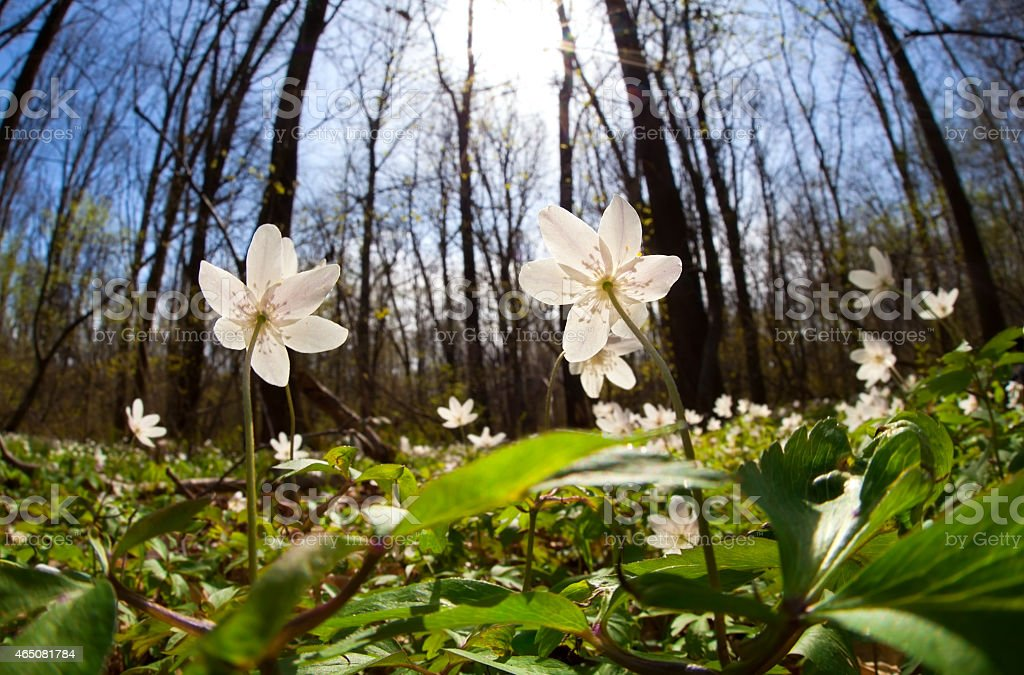 white anemone flowers at sunrise in forest stock photo