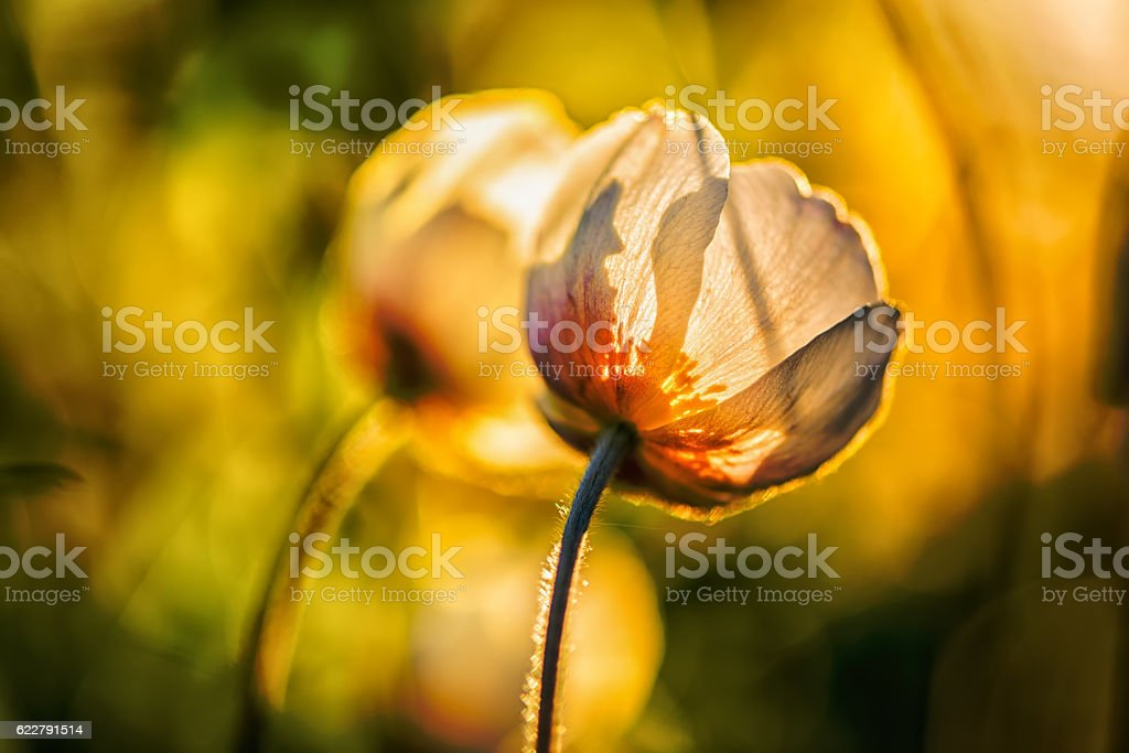 white anemone (Anemone nemorosa) flowers at sunset shine stock photo