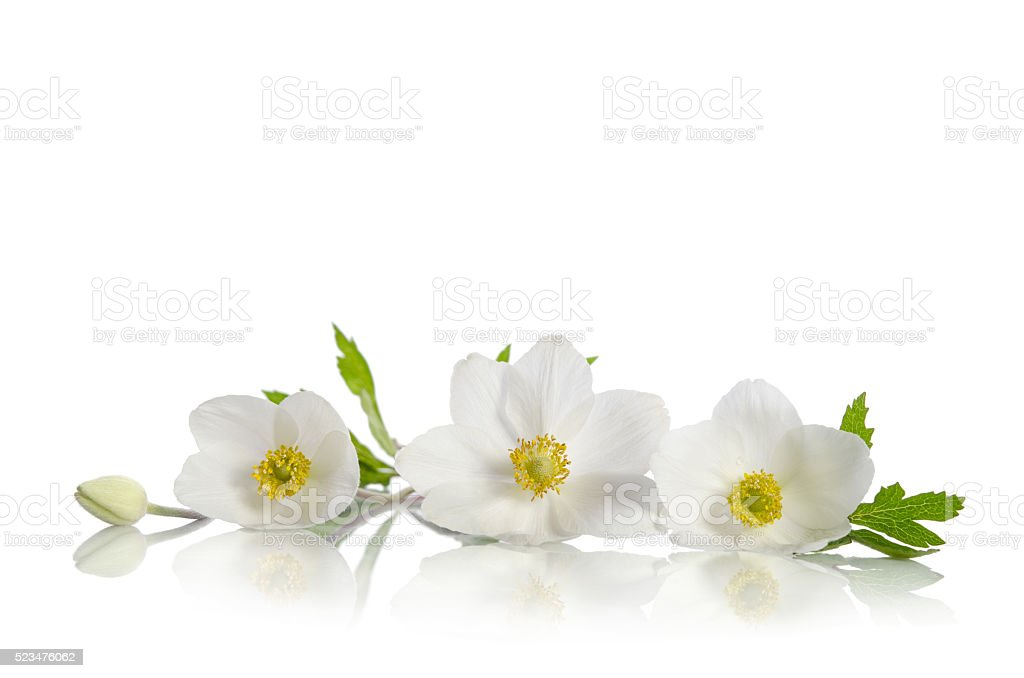 White anemone flowers isolated on white background stock photo