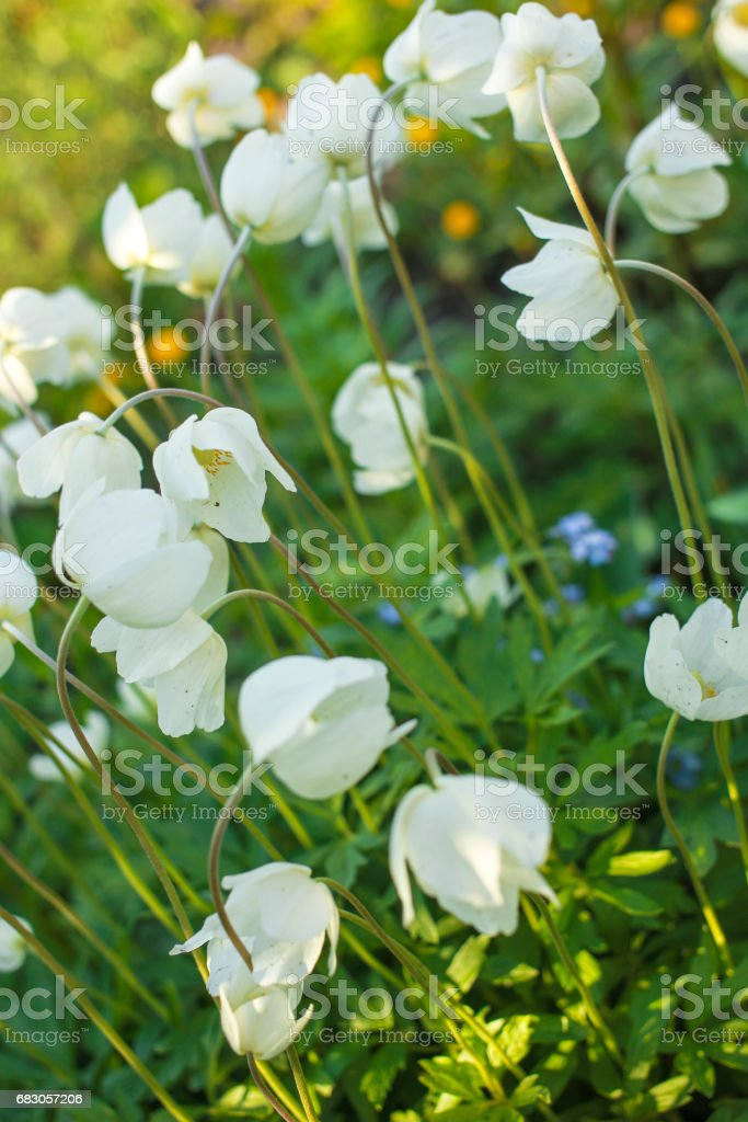 White anemone green leaves on a sunny day stock photo