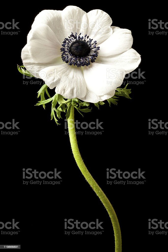 White Anemone Isolated on a Black Background stock photo