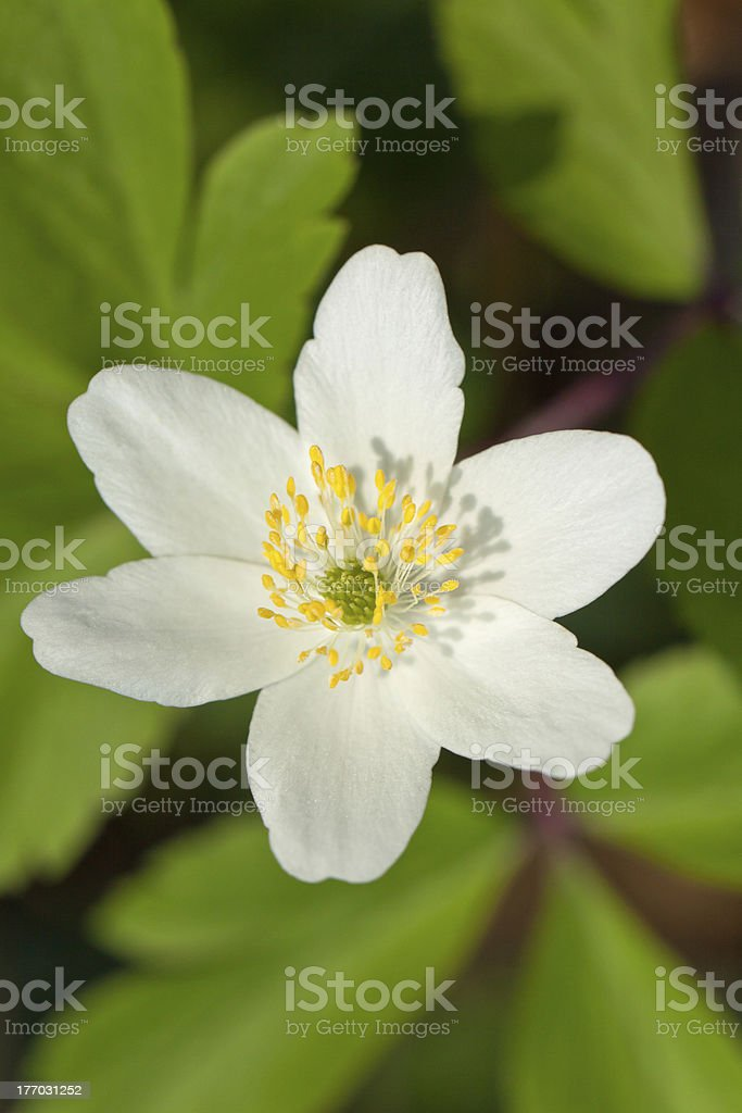 White anemone royalty-free stock photo
