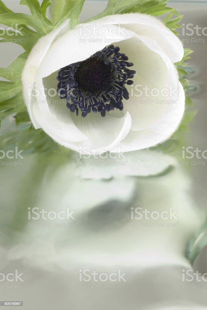 White anemone royalty-free stock photo