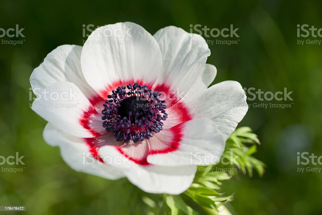 White Anemone with pink royalty-free stock photo