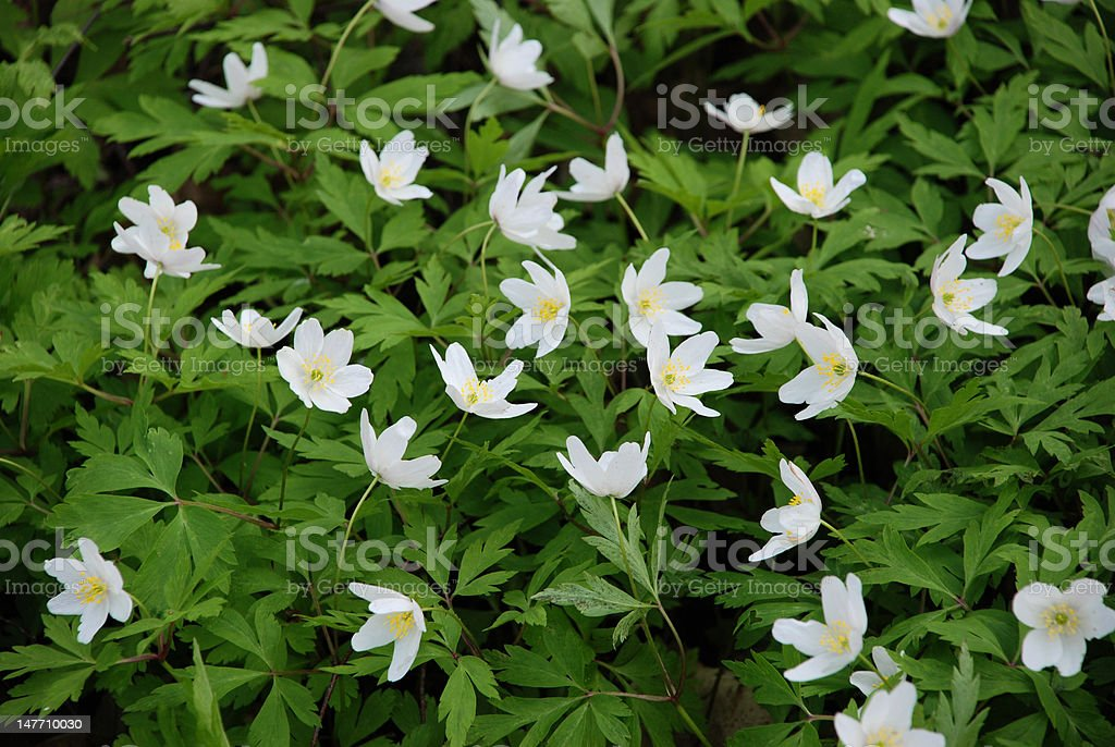 White anemones royalty-free stock photo