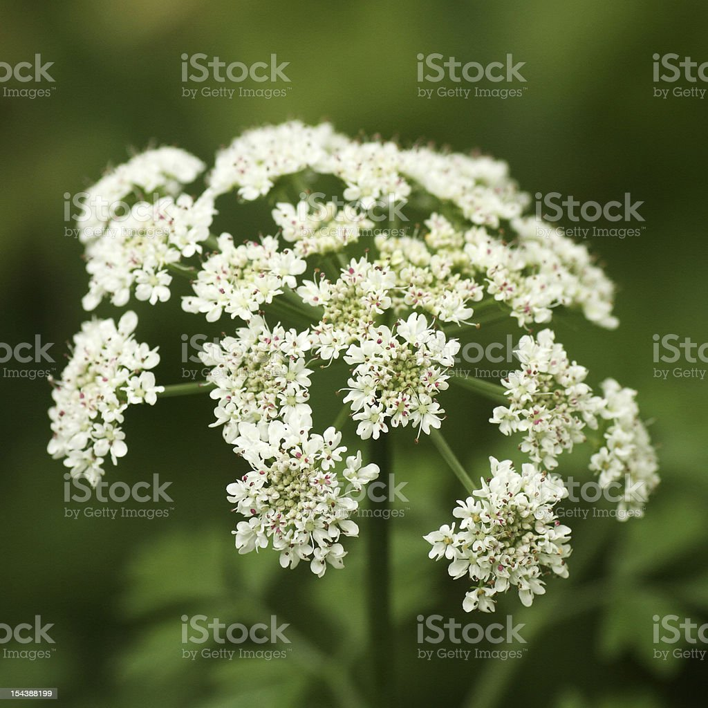 White Angelica Flowers, Queen Ann'e s Lace royalty-free stock photo