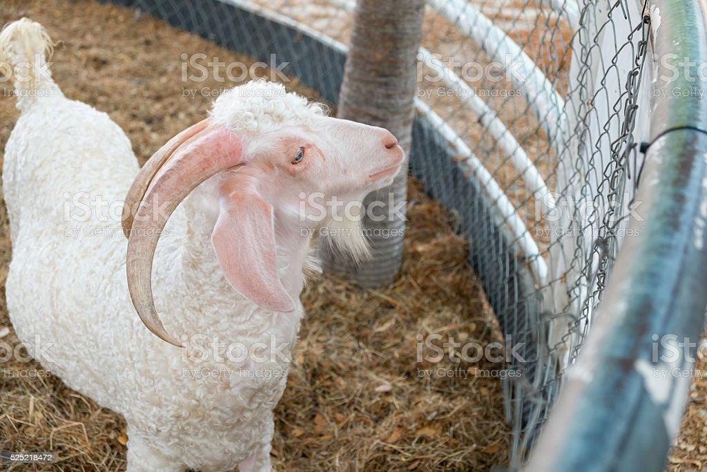 Weiße Angora Ziege Lizenzfreies stock-foto
