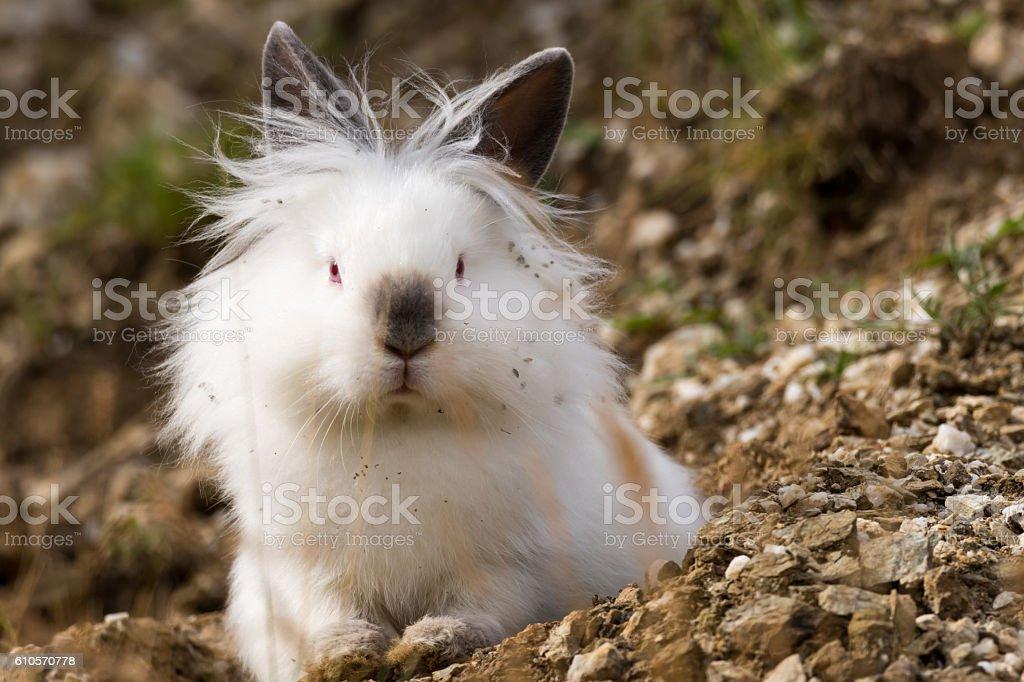 White angora rabbit sitting outdoors in the wild, front view stock photo