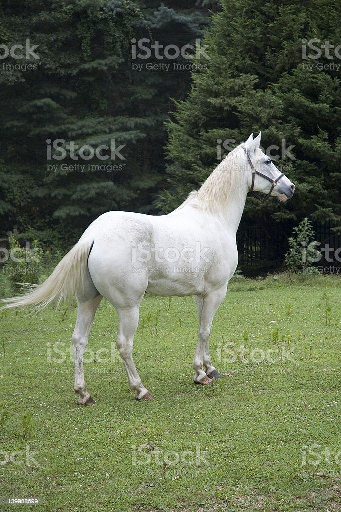 white appaloosa horse royalty-free stock photo