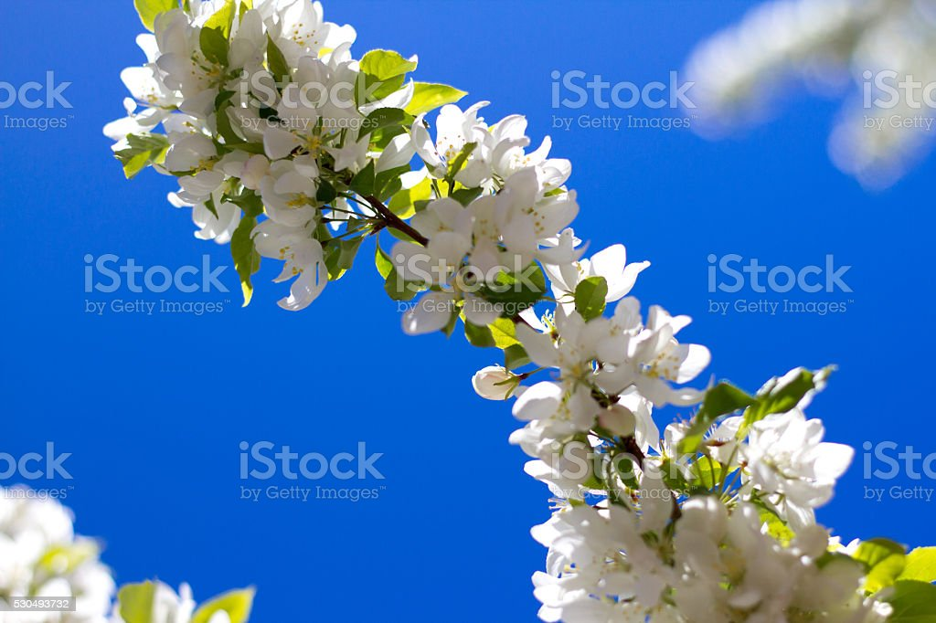 White Apple Blossoms Against Vibrant Deep Blue Sky (Close-Up) stock photo