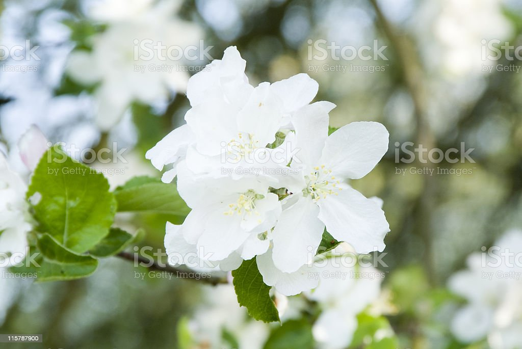 White apple tree blossoms in spring. selective focus stock photo