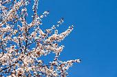 White Apple Tree Flowers Spring Blossom