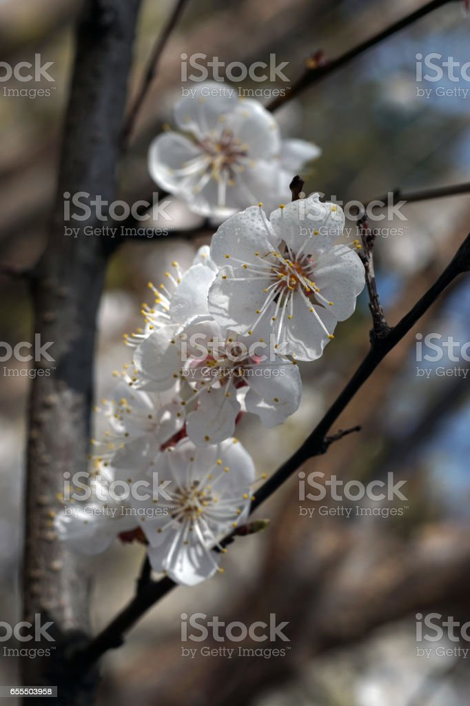 White apricot flowers branch on a spring day. Closeup stock photo