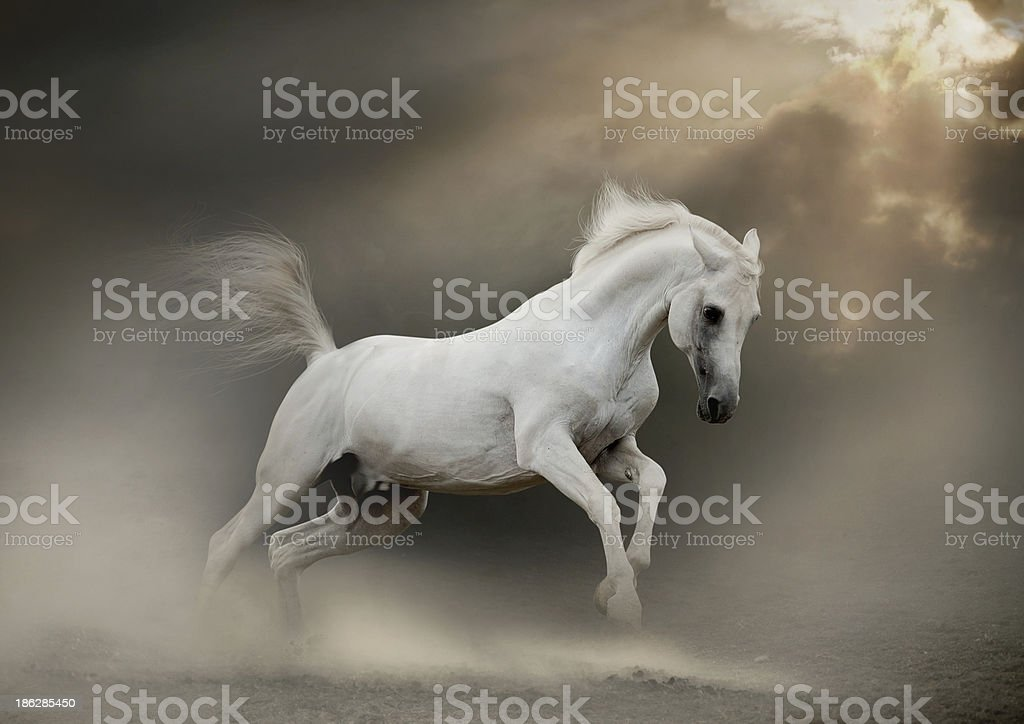 white arab horse stock photo