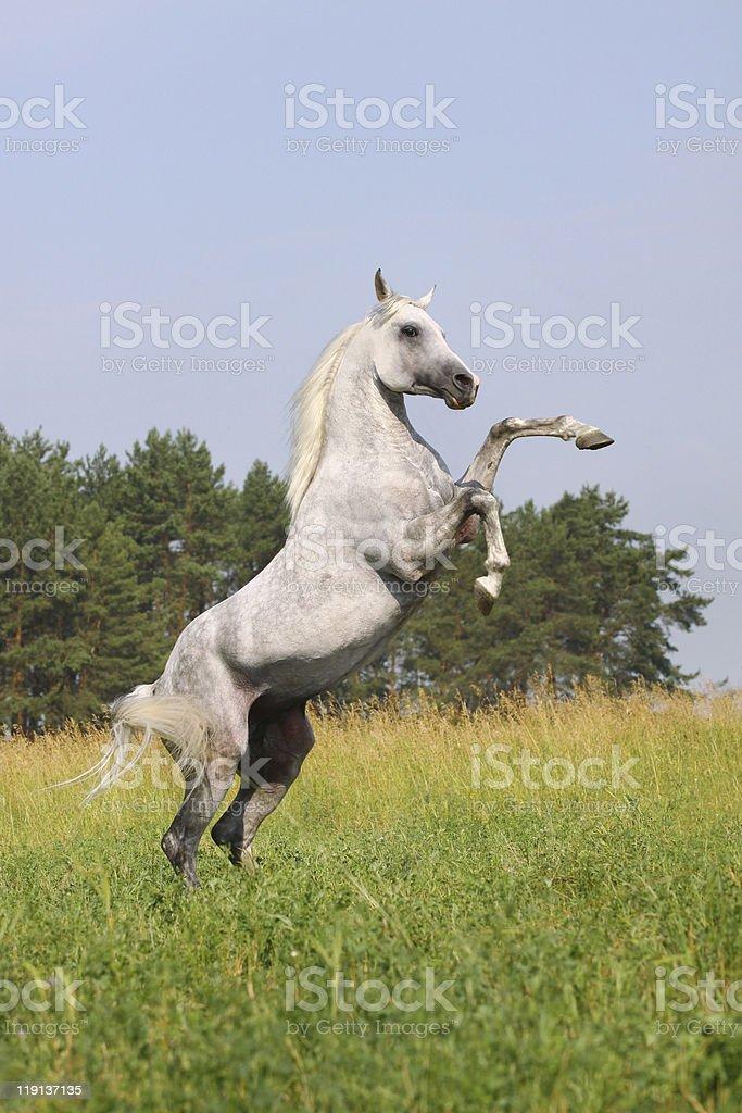 white arab stallion stock photo