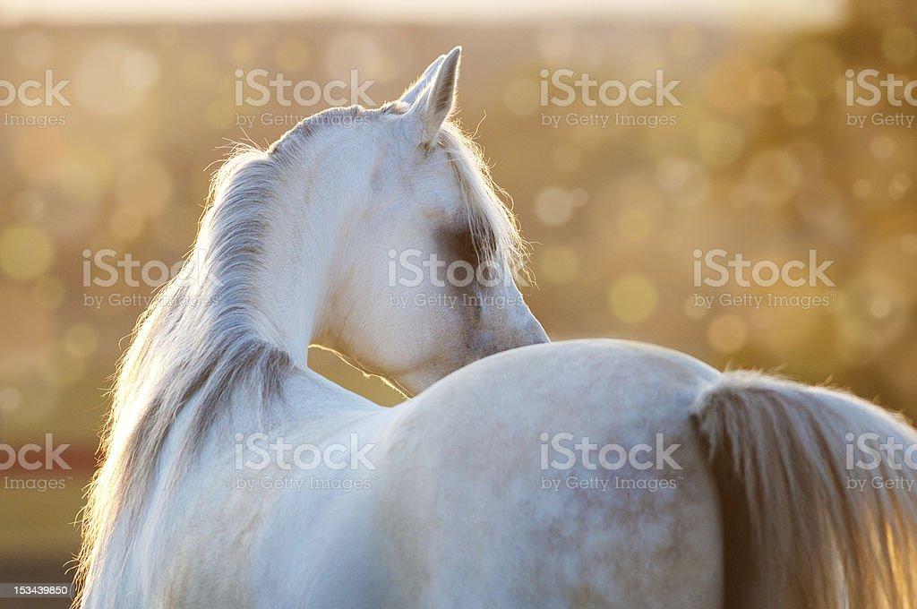 white arabian horse in the sunrise stock photo