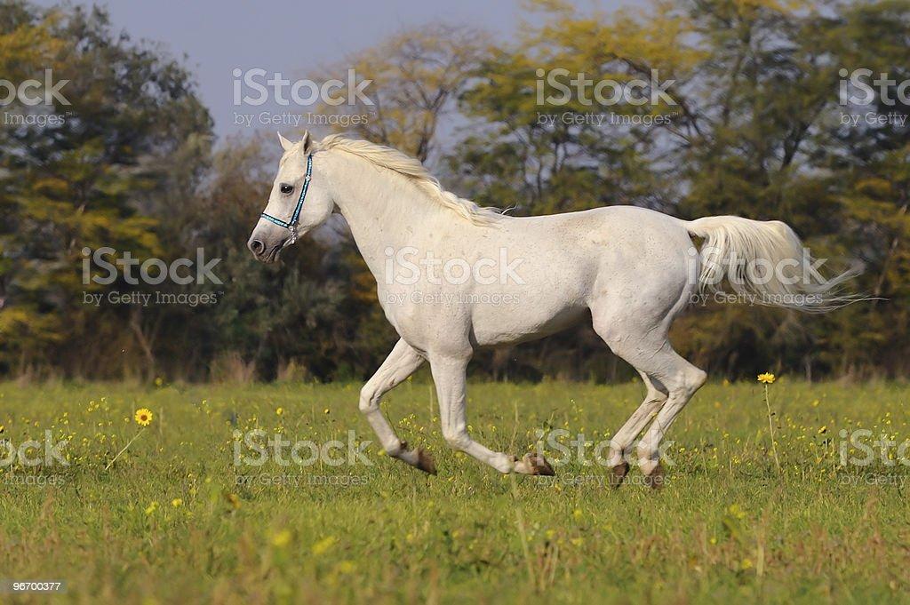 white arabian horse stock photo
