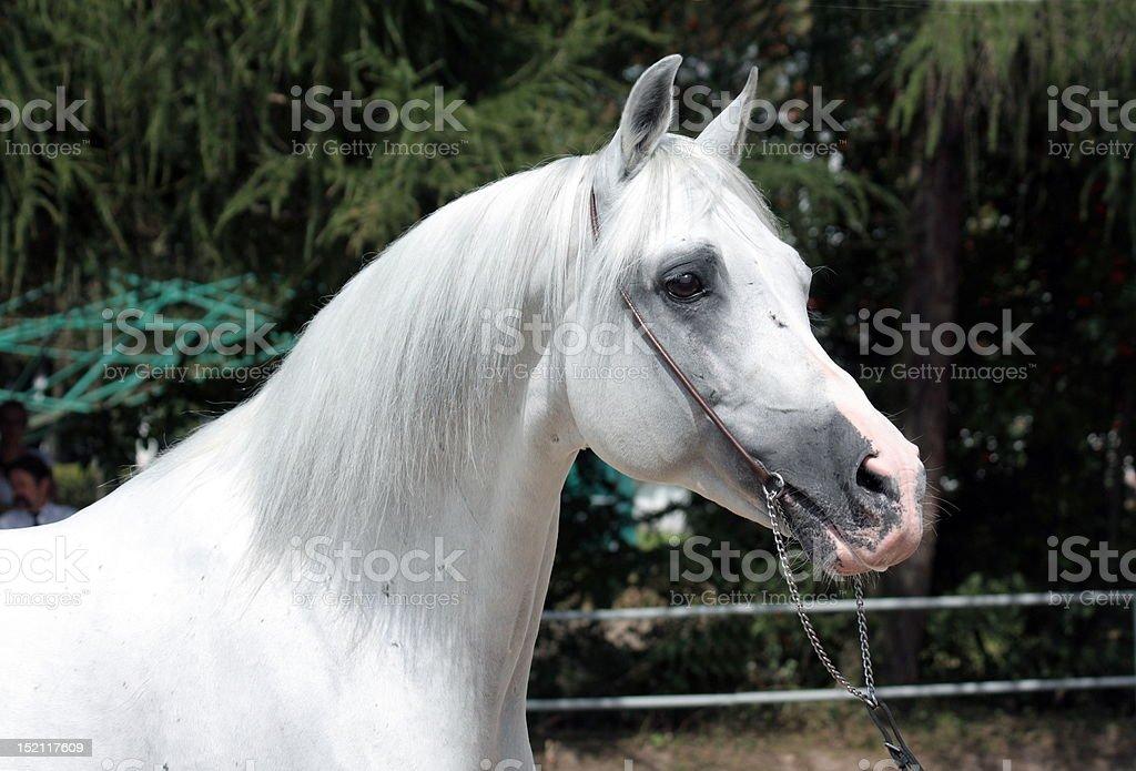 White arabian stallion stock photo