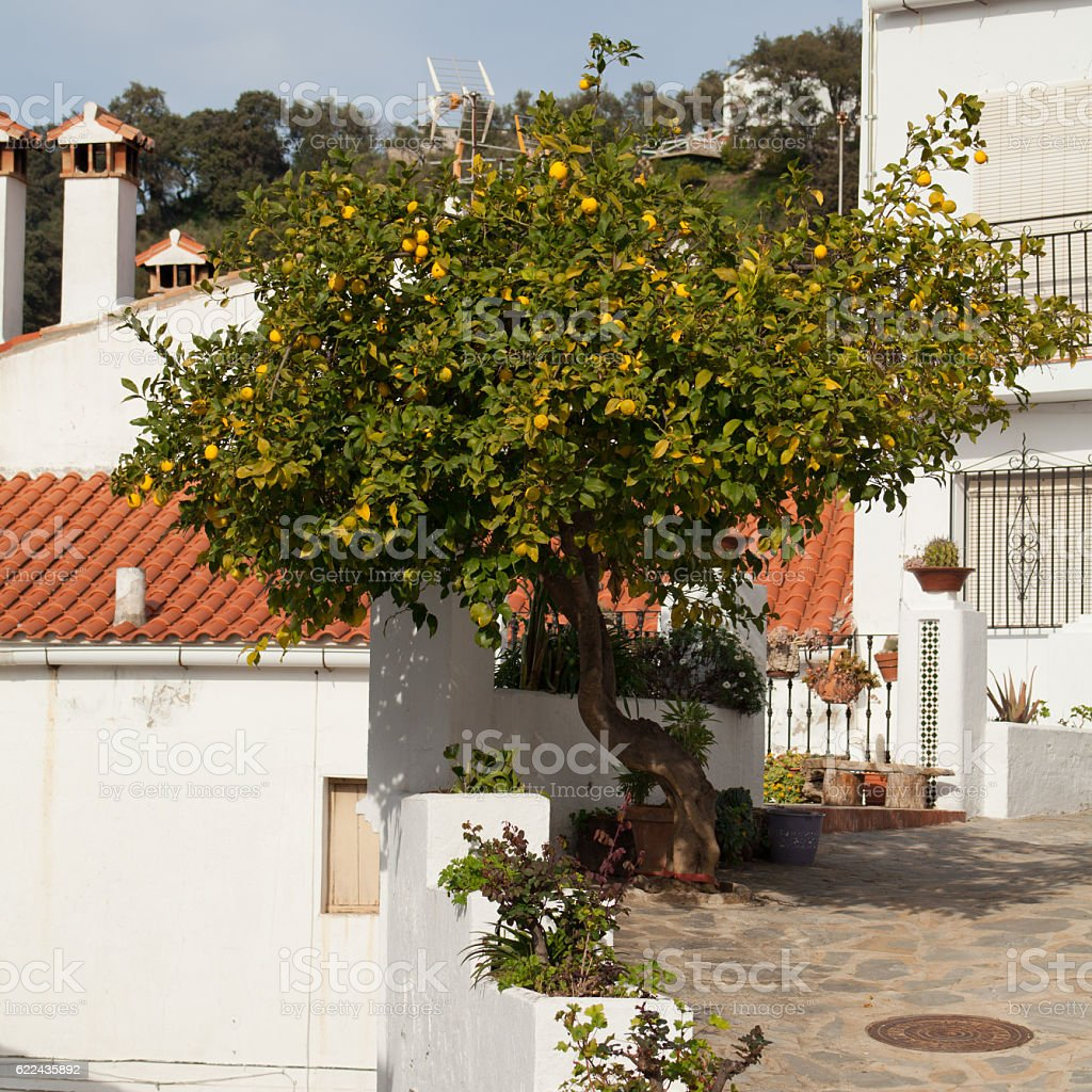 white architecture mountain village in Andalusia with big lemon tree. stock photo