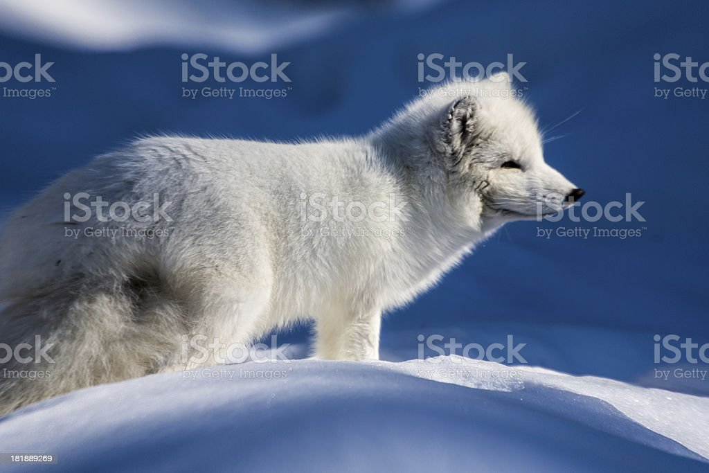 White arctic fox standing in the snow stock photo