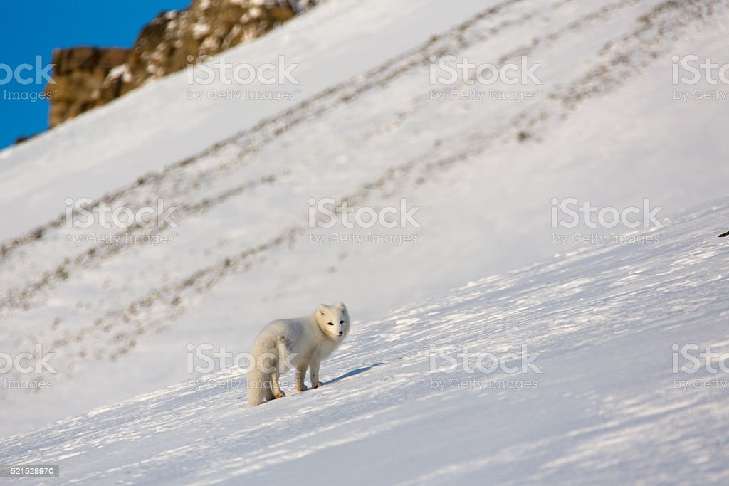 White arctic fox walking in the snow stock photo