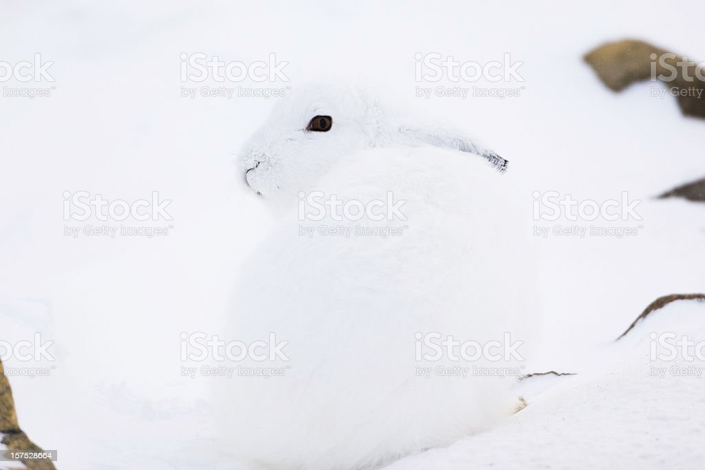 White Arctic rabbit hare looking over its shoulder on snow stock photo