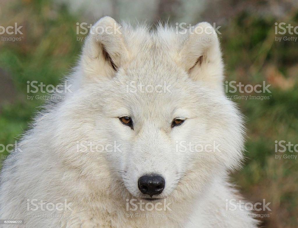 White Arctic Wolf Close Up stock photo