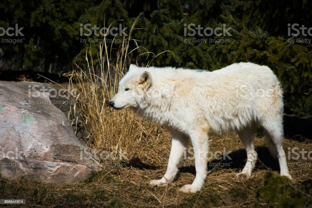 White arctic wolf standing in grown forest stock photo