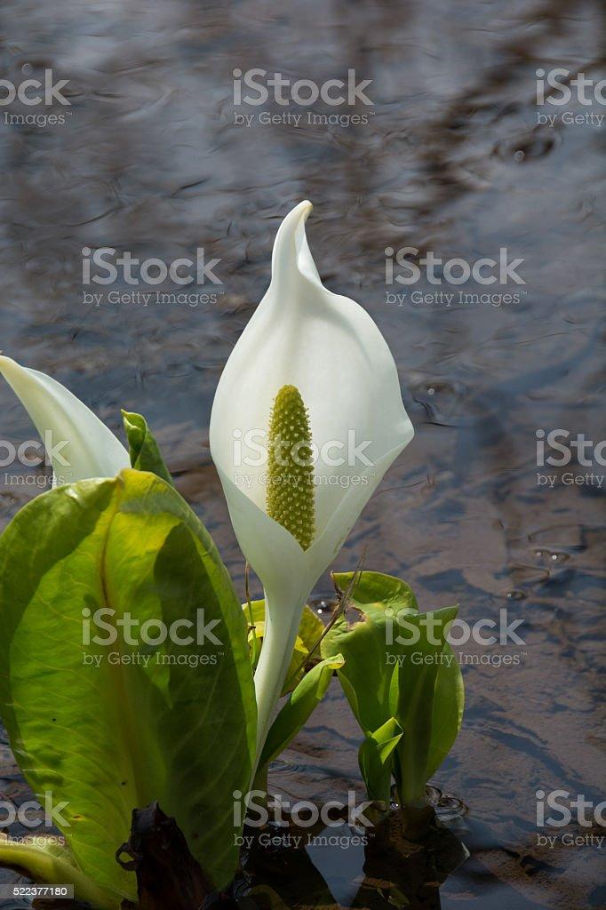 White arum stock photo