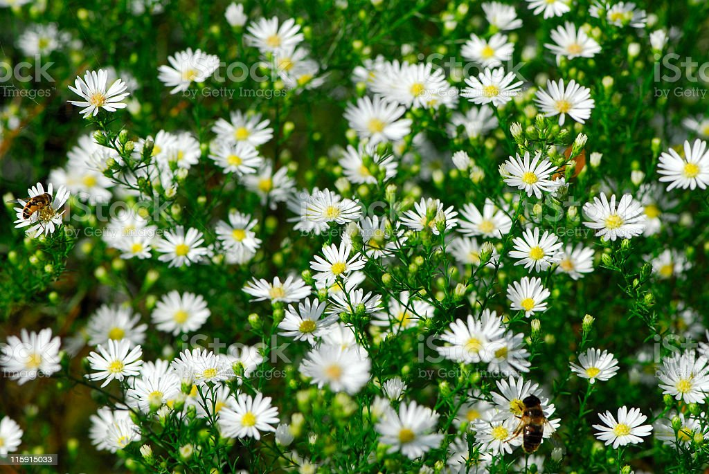 White asters. stock photo