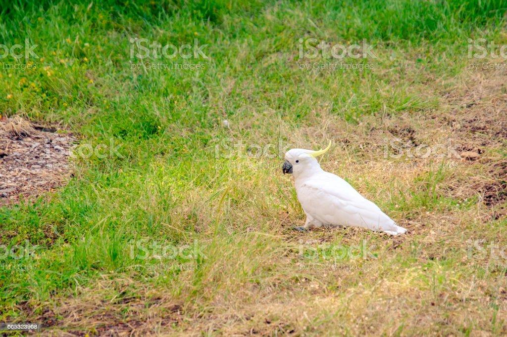 White australian cockatoo stock photo