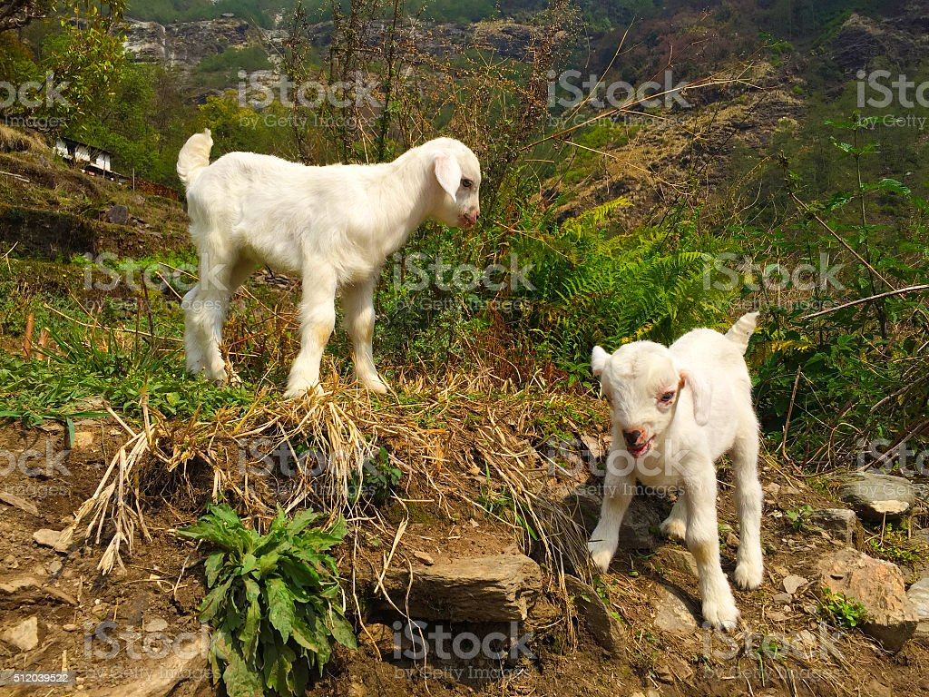 White baby goats in a village stock photo