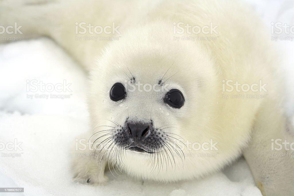 White baby harp seal pup on white snow stock photo