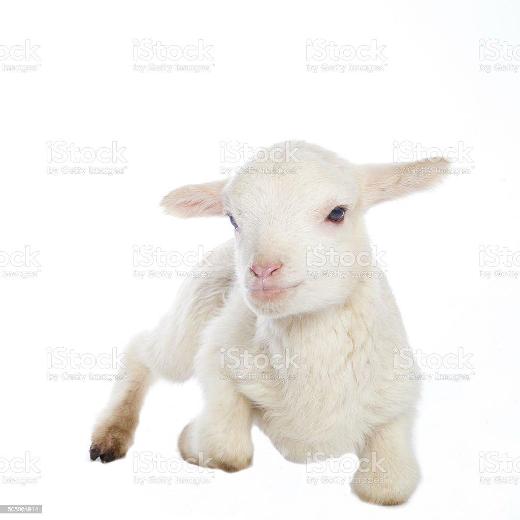 White baby lamb stock photo