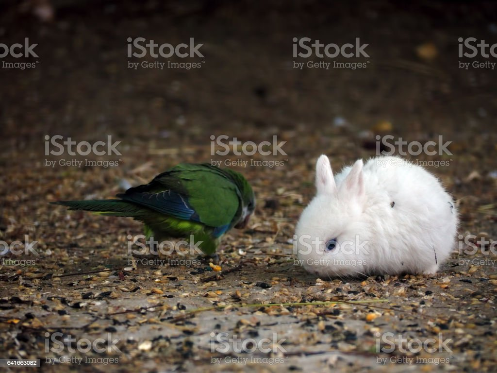 White baby rabbit and green parrot stock photo