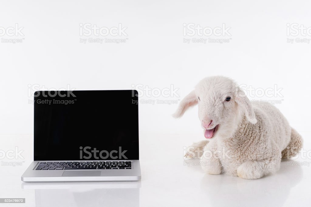 White baby sheep and laptop stock photo