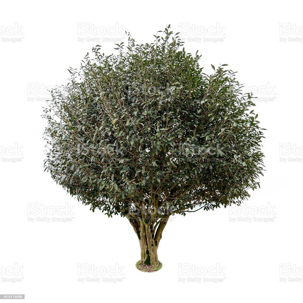 White Background Ancient tea tree. stock photo