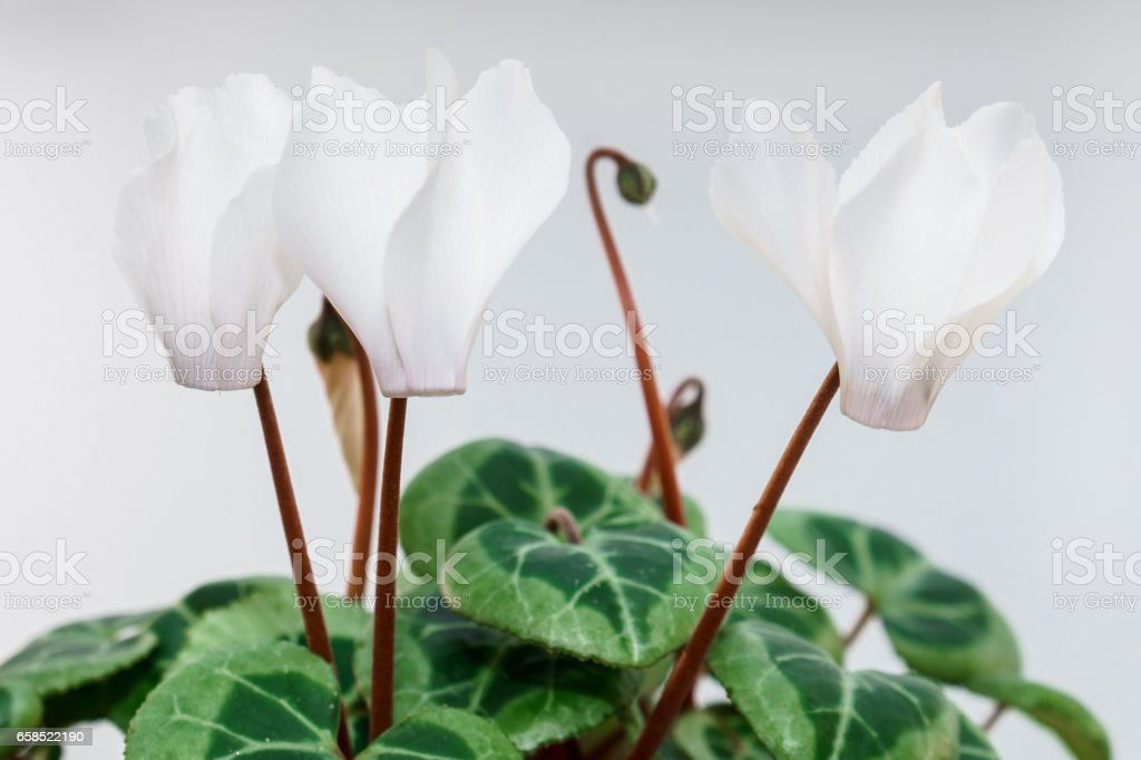 White background beauty cyclamen isolated stock photo