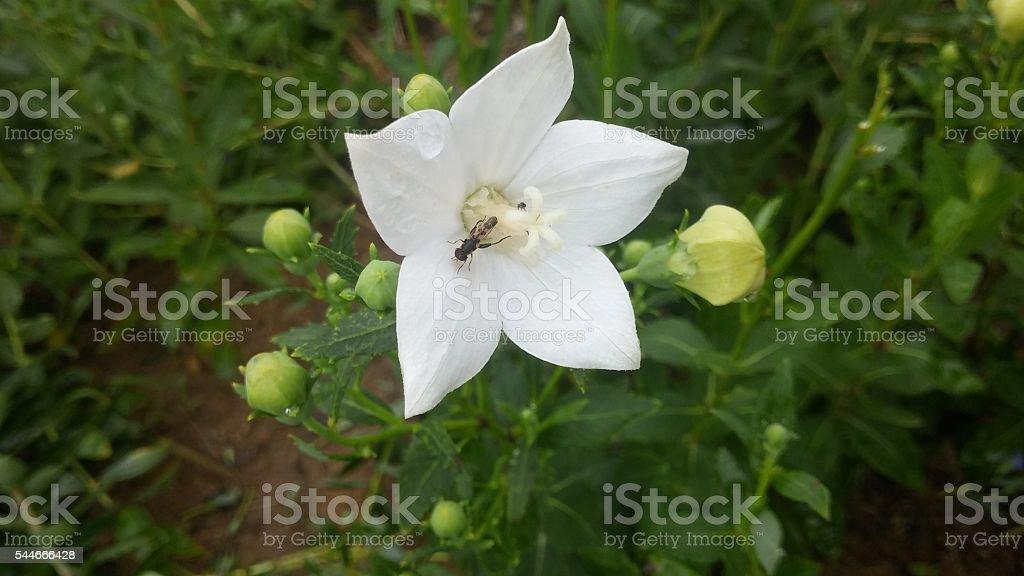 White balloon flower stock photo