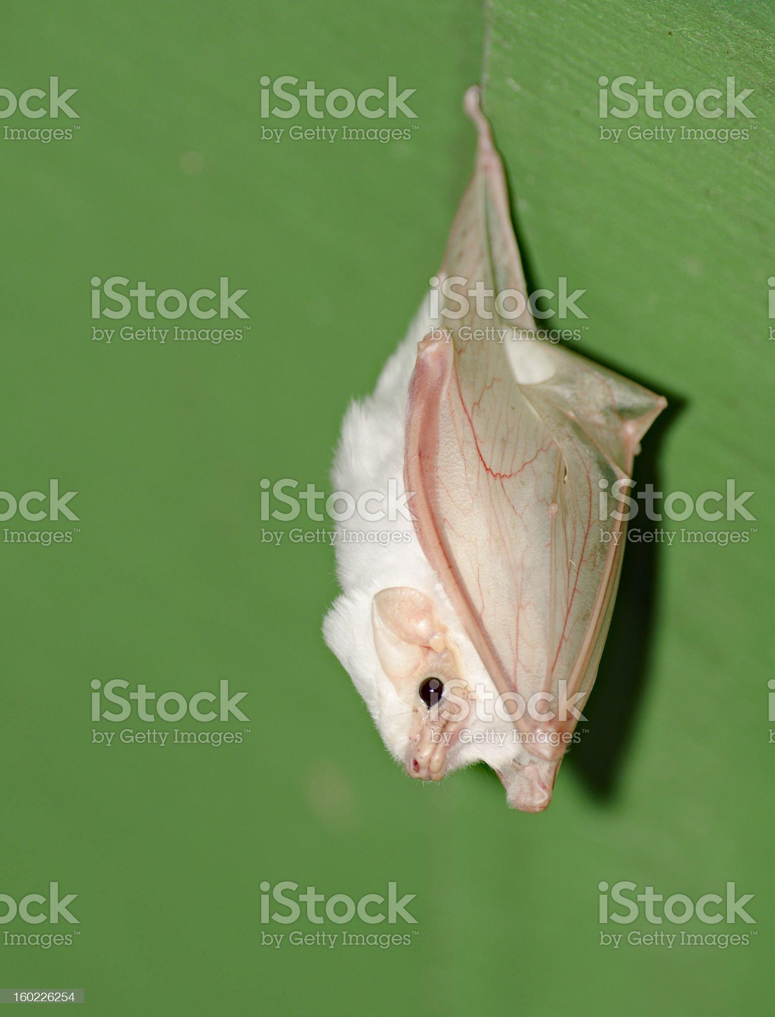 White Bat royalty-free stock photo