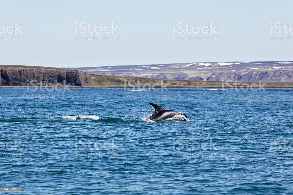 White Beaked Dolphin in Husavik Fjord stock photo