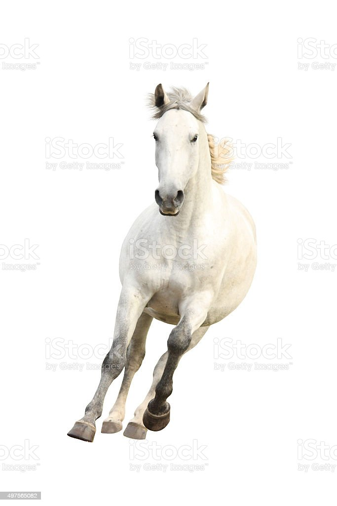 White beautiful horse galloping isolated on white stock photo