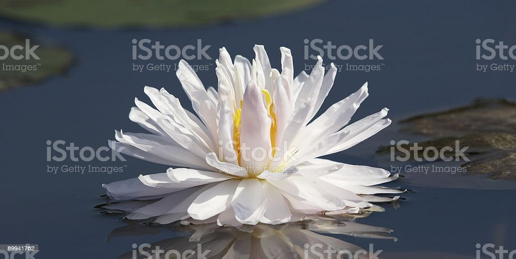 White beauty royalty-free stock photo