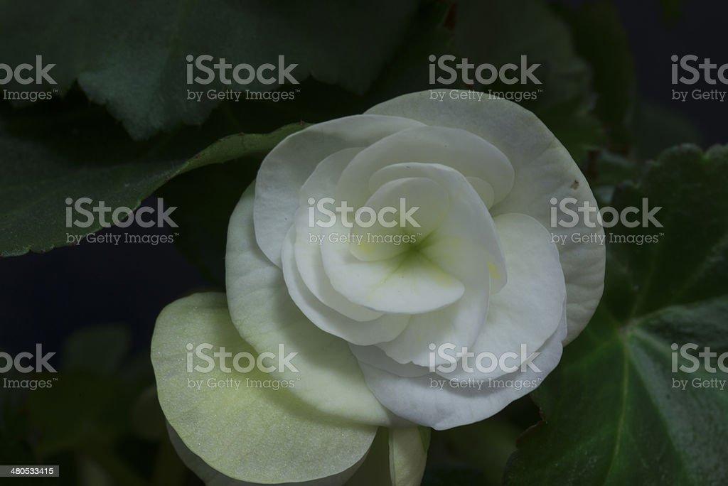 White begonia royalty-free stock photo
