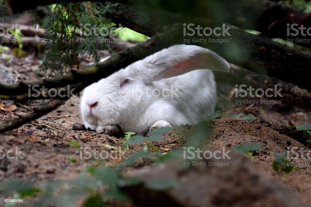 White Belgian Giant Rabbit lying under the green bush stock photo